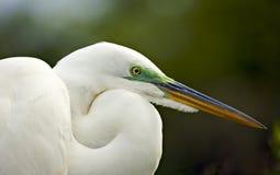 Retrato do Egret Imagem de Stock