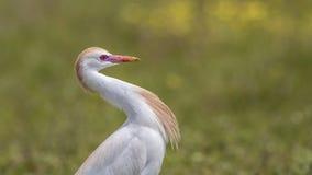 Retrato do Egret de gado fotos de stock