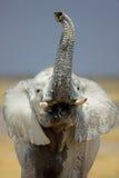 Retrato do elefante Imagens de Stock Royalty Free