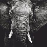 Retrato do elefante Imagens de Stock
