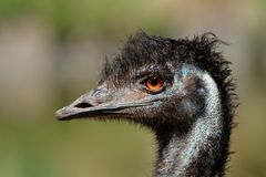 Retrato do Emu Imagem de Stock