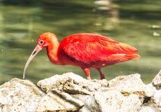 Retrato do escarlate vermelho dos íbis (ruber de Eudocimus) Imagens de Stock Royalty Free