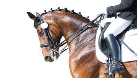 Retrato do esporte equestre - cabeça do adestramento do cavalo da azeda Fotos de Stock Royalty Free