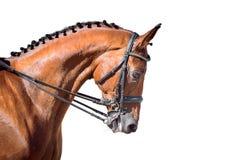 Retrato do esporte equestre - cabeça do adestramento do cavalo da azeda Imagens de Stock Royalty Free