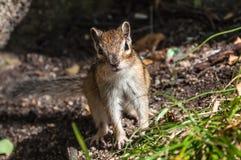 Retrato do esquilo agradável Foto de Stock