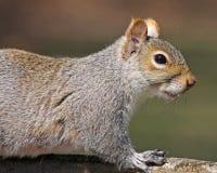 Retrato do esquilo de cinza oriental fotos de stock