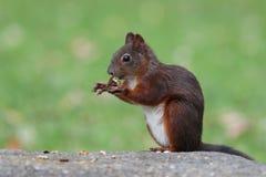 Retrato do esquilo vermelho Imagens de Stock Royalty Free