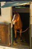 Retrato do estábulo do cavalo Imagem de Stock
