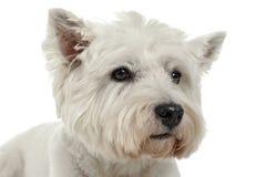 Retrato do estúdio de Terrier branco de montanhas ocidentais com backgrou branco Imagens de Stock Royalty Free