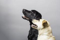 Retrato do estúdio do cão Fotos de Stock Royalty Free
