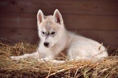 Retrato do estúdio do cachorrinho do cão do cão de puxar trenós Siberian em um feno Fotos de Stock Royalty Free