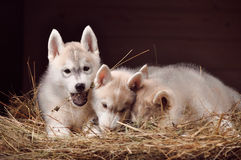 Retrato do estúdio dos cachorrinhos do cão três do cão de puxar trenós Siberian em um feno Imagem de Stock Royalty Free