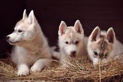 Retrato do estúdio dos cachorrinhos do cão três do cão de puxar trenós Siberian em um feno Imagem de Stock