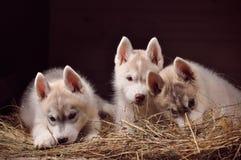 Retrato do estúdio dos cachorrinhos do cão três do cão de puxar trenós Siberian em um feno Imagens de Stock