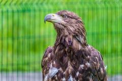 Retrato do estepe Eagle fotografia de stock