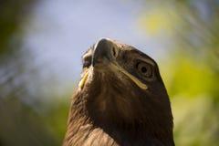 Retrato do falcão Foto de Stock
