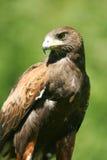 Retrato do falcão de Harris Fotografia de Stock