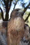 Retrato do falcão para a capa de revista Imagens de Stock Royalty Free