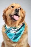 Retrato do fashon do cão do Retriever dourado imagem de stock royalty free