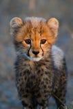 Retrato do filhote da chita foto de stock royalty free