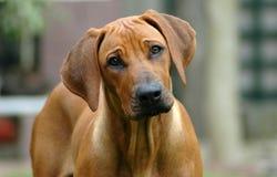 Retrato do filhote de cachorro fotografia de stock royalty free