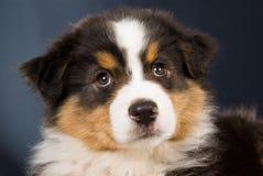 Retrato do filhote de cachorro australiano do pastor Imagens de Stock Royalty Free