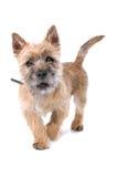 Retrato do filhote de cachorro bonito do terrier de monte de pedras Foto de Stock