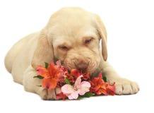 Retrato do filhote de cachorro com uma flor. Imagem de Stock