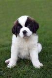 Retrato do filhote de cachorro de Bernard de Saint Fotos de Stock