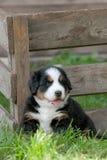 Retrato do filhote de cachorro do cão de montanha de Bernese Imagens de Stock