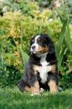 Retrato do filhote de cachorro do cão de montanha de Bernese Imagem de Stock Royalty Free