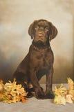 Retrato do filhote de cachorro do laboratório do chocolate Imagens de Stock