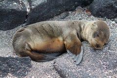 Retrato do filhote de cachorro do leão de mar da pele (Galápagos, Equador) Fotos de Stock Royalty Free
