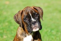 Retrato do filhote de cachorro do pugilista Imagem de Stock Royalty Free