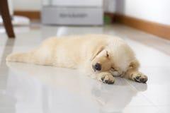 Retrato do filhote de cachorro do retriever dourado imagem de stock