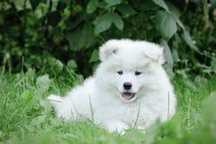 Retrato do filhote de cachorro do Samoyed de Llittle Fotos de Stock
