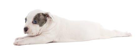Retrato do filhote de cachorro do terrier de Staffordshire americano Foto de Stock