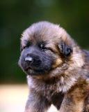 Retrato do filhote de cachorro no fundo verde Fotografia de Stock Royalty Free