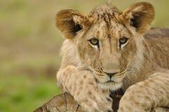 Retrato do filhote de leão Imagem de Stock Royalty Free