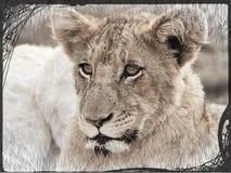 Retrato do filhote de leão Foto de Stock Royalty Free