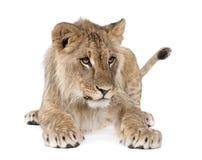 Retrato do filhote de leão novo, Panthera leo, 8 meses velho Fotografia de Stock