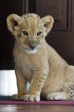 Retrato do filhote de leão pequeno bonito Imagens de Stock Royalty Free