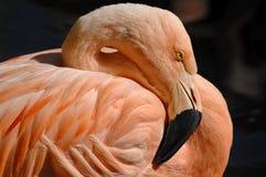 Retrato do flamingo Imagens de Stock Royalty Free