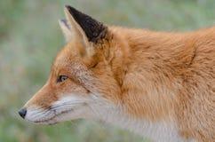 Retrato do Fox Fotos de Stock