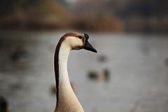 Retrato do ganso Foto de Stock