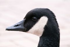 Retrato do ganso escuro fotografia de stock royalty free