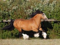 Retrato do garanhão do cavalo de Vanner do cigano fotografia de stock