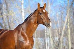 Retrato do garanhão do cavalo de Brown Hanoverian Imagem de Stock