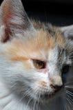 Retrato do gatinho Foto de Stock Royalty Free