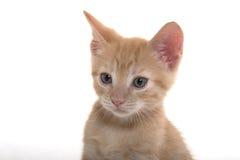 Retrato do gatinho bonito Imagens de Stock